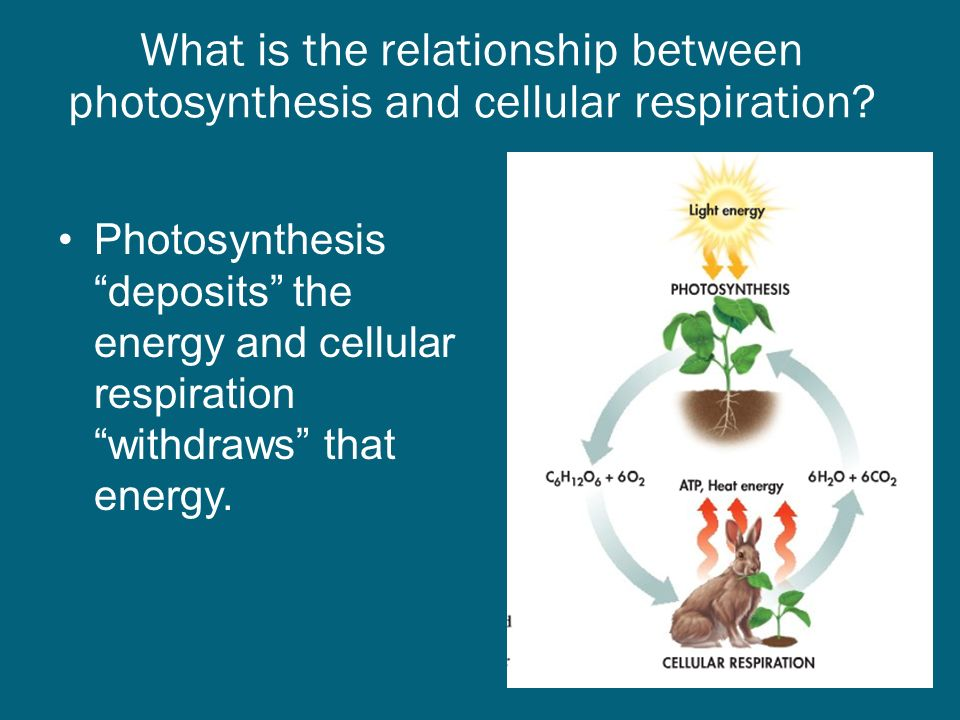 stages of cellular respiration and photosynthesis relationship