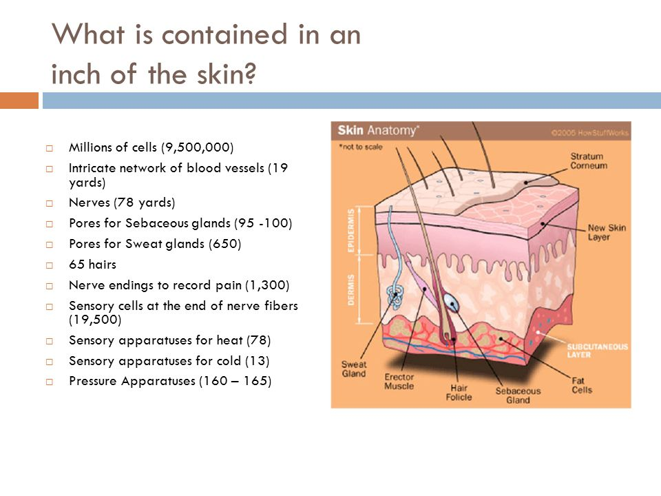 Anatomy Of The Skin Chapter 6 Ppt Video Online Download