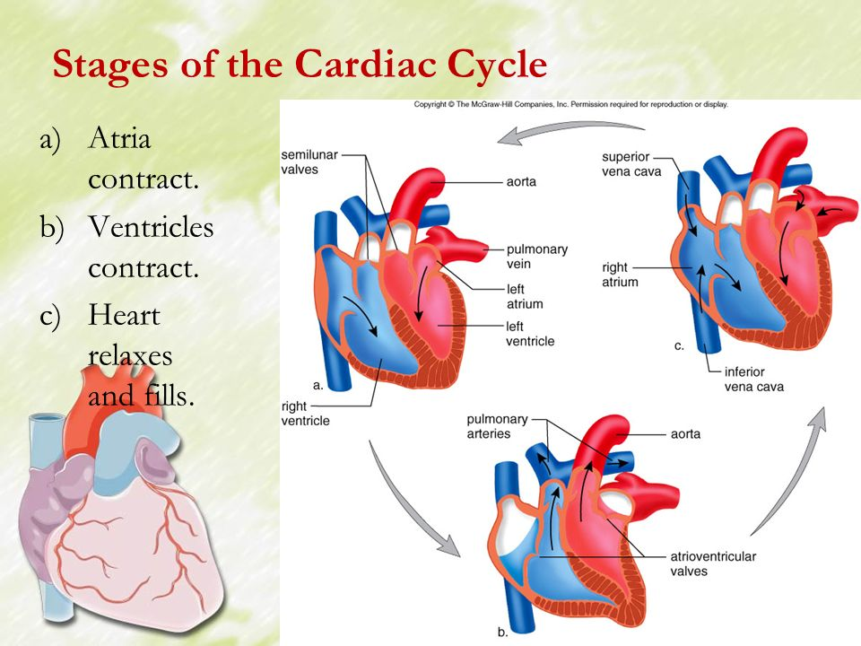 cardiac cycle Human physiology/the cardiovascular system from wikibooks, open books for an open world  human physiology this is the latest reviewed version,  cardiac cycle.