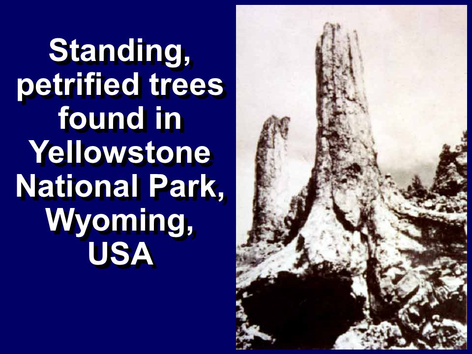 Standing, petrified trees found in Yellowstone National Park, Wyoming,