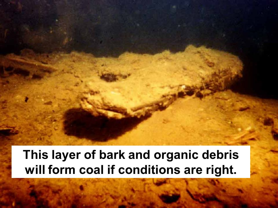 This layer of bark and organic debris will form coal if conditions are right.