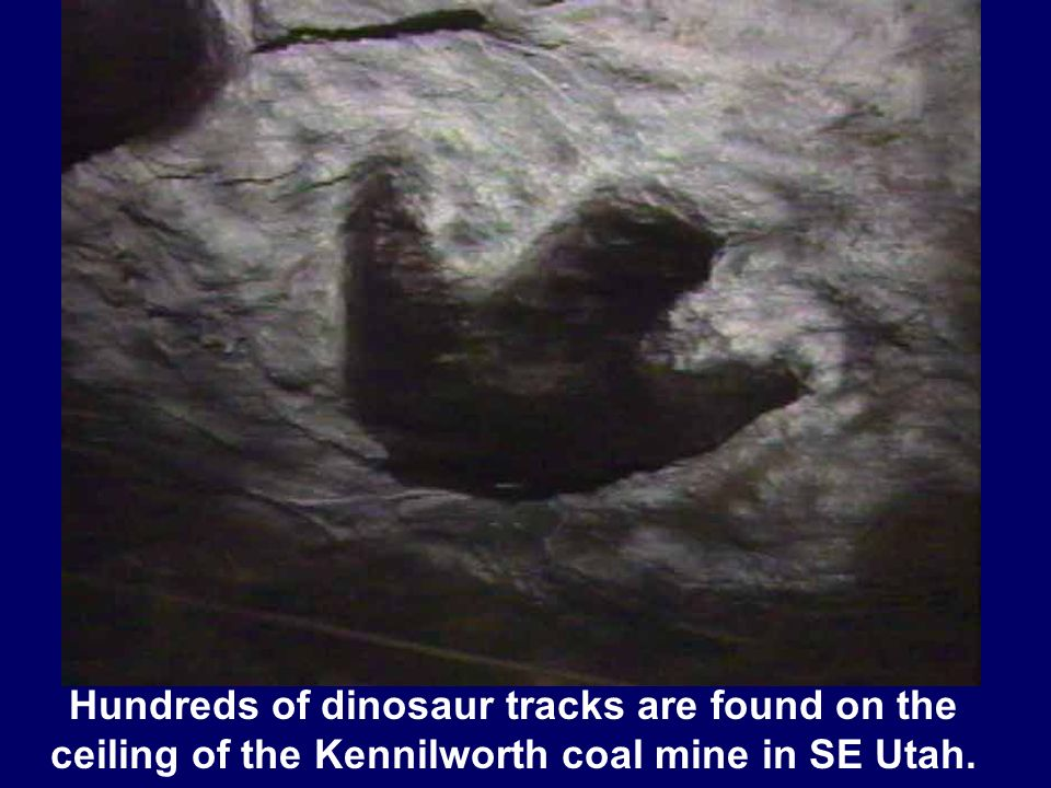 Dino track in coal Hundreds of dinosaur tracks are found on the ceiling of the Kennilworth coal mine in SE Utah.