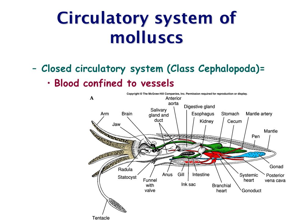 Chapter 12 molluscs ppt video online download circulatory system of molluscs ccuart Gallery