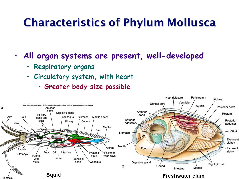 Chapter 12 molluscs ppt video online download characteristics of phylum mollusca ccuart Gallery