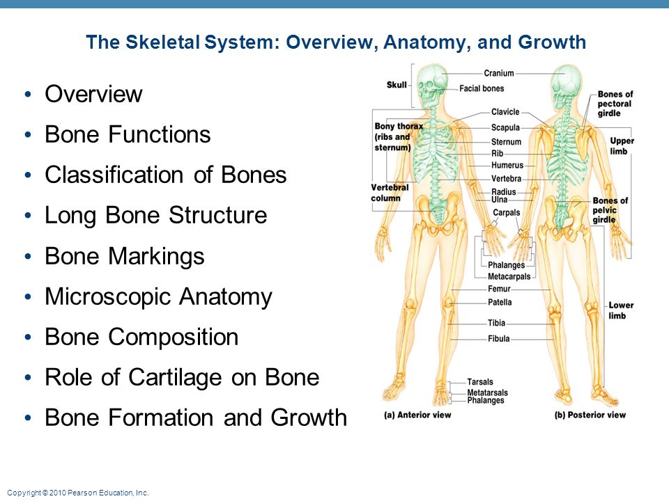 The Skeletal System: Overview, Anatomy, and Growth - ppt video ...
