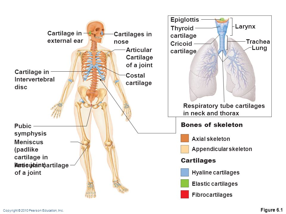 The Skeletal System Overview Anatomy And Growth Ppt Video