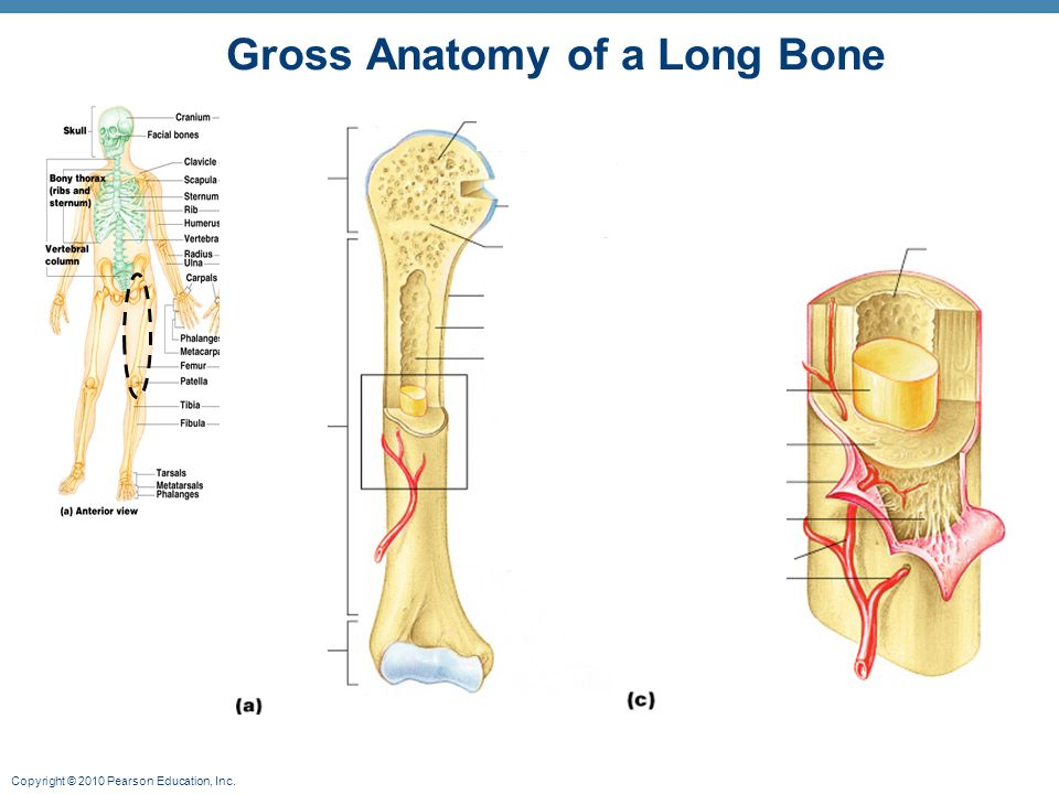 Gross anatomy of long bone