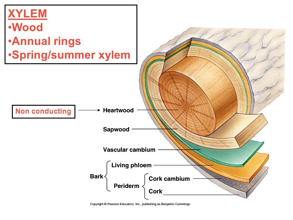Xylem And Plant Rings