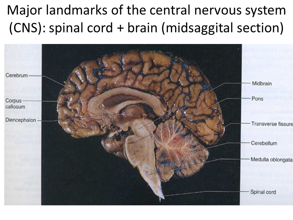 an introduction to the brain and spinal cord This is a long pathway, in which neurons make connections in both the brain and the spinal cord explain what happens when one slams a door on one's finger.
