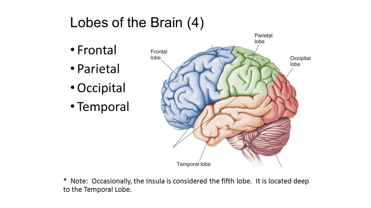Ch 14- Brain & Cranial Nerves - ppt video online download