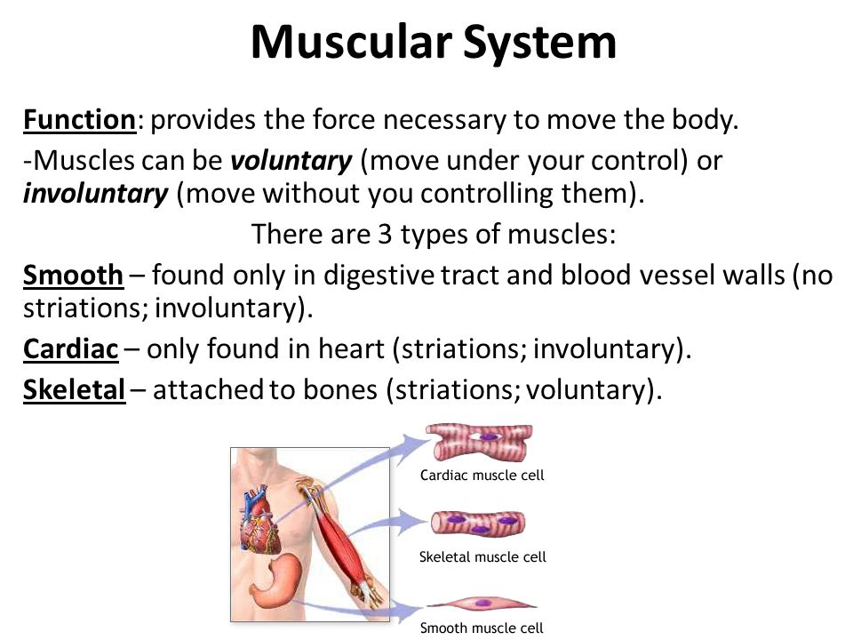 What is a type of muscle found in the digestive system?