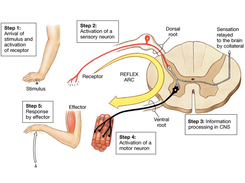 Introduction to the nervous system ppt video online download describe the flow of communication through the reflex arc showing that this pathway includes sensory input ccuart Image collections
