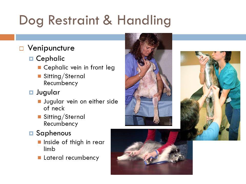 proper animal handling & restraint - ppt download, Cephalic Vein