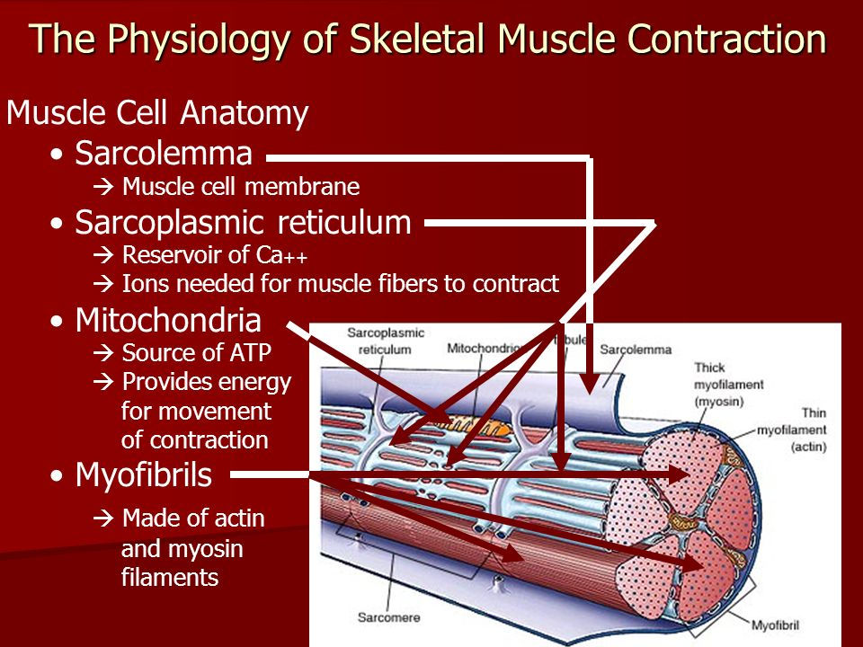The Physiology Of Skeletal Muscle Contraction Ppt Video Online
