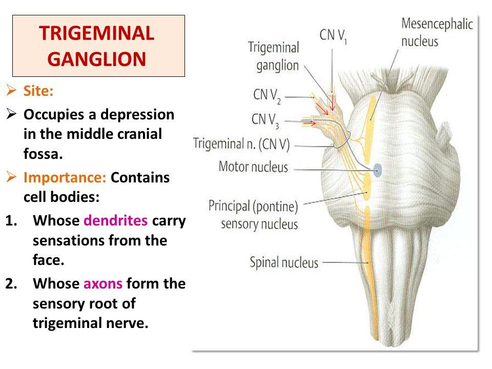 Trigeminal Nerve. - ppt download