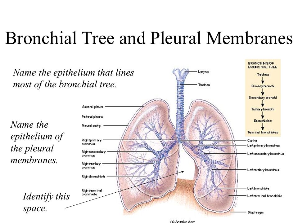 Bronchial tree anatomy