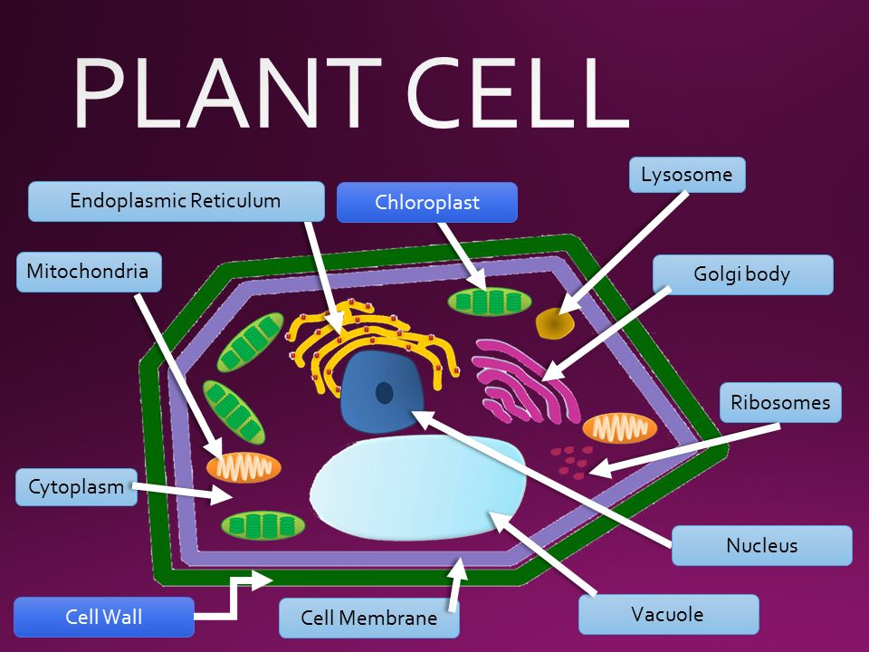 Cytoplasm in a plant cell