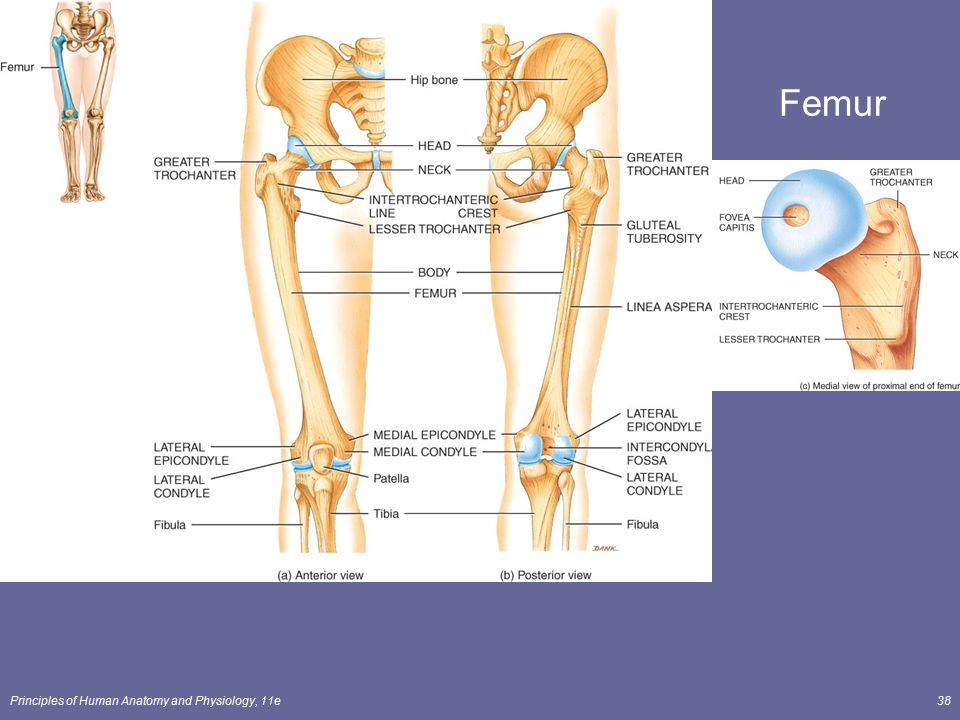 Fantastisch Femur Anatomy And Physiology Ideen - Menschliche ...