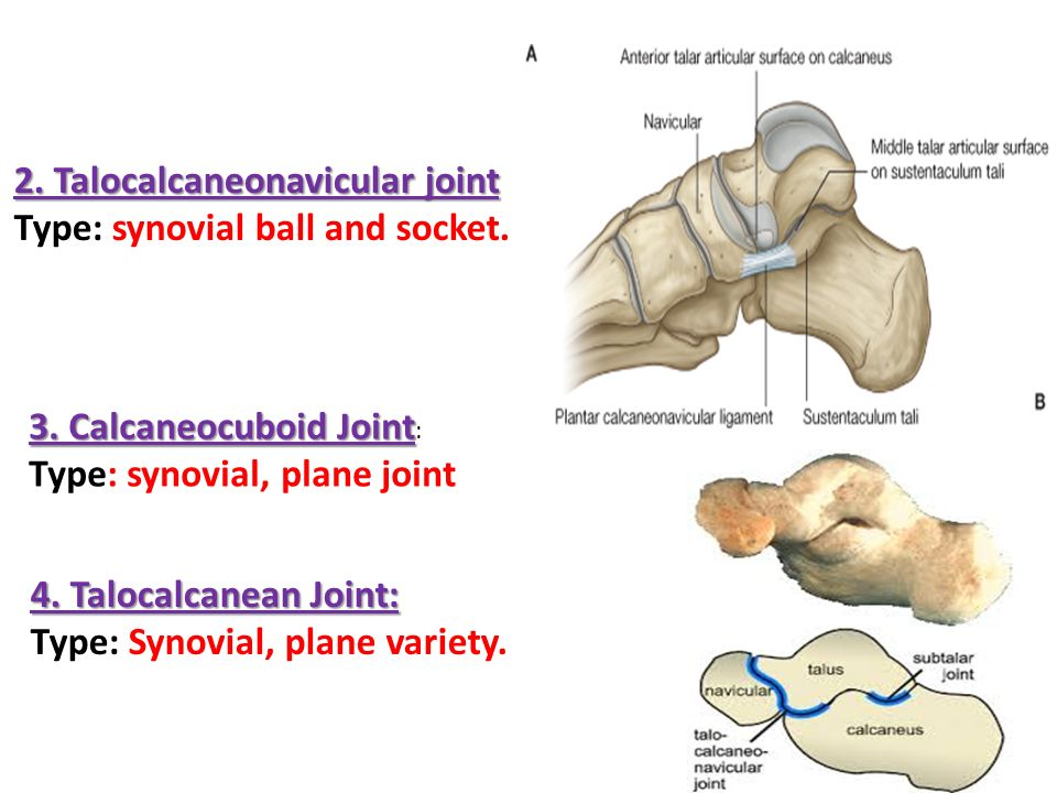 anlkle joint d.rania gabr d.sama. d.elsherbiny. - ppt video online, Human Body
