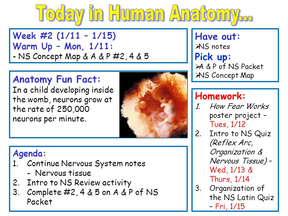 Today In Human Anatomy Have Out Pick Up Anatomy Fun Fact Ppt
