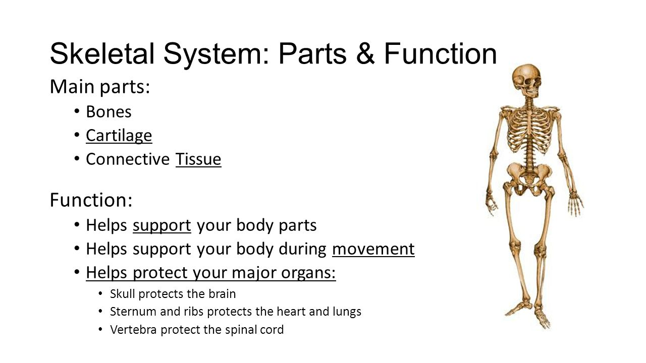 the important parts and functions of the skeletal system Structure and functions of the skeletal system print reference this  disclaimer:  it is the smallest and most vulnerable vertebrae of the vertebrae column but it is the most important because it sends signal to the thoracic from the head thoracic vertebrae (twelve) – these are the vertebrae of the mid spine, which articulate with the.