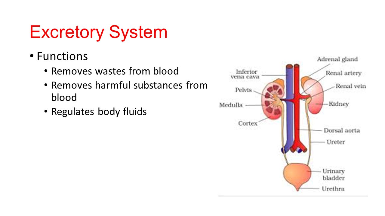 Excretory system organs and functions