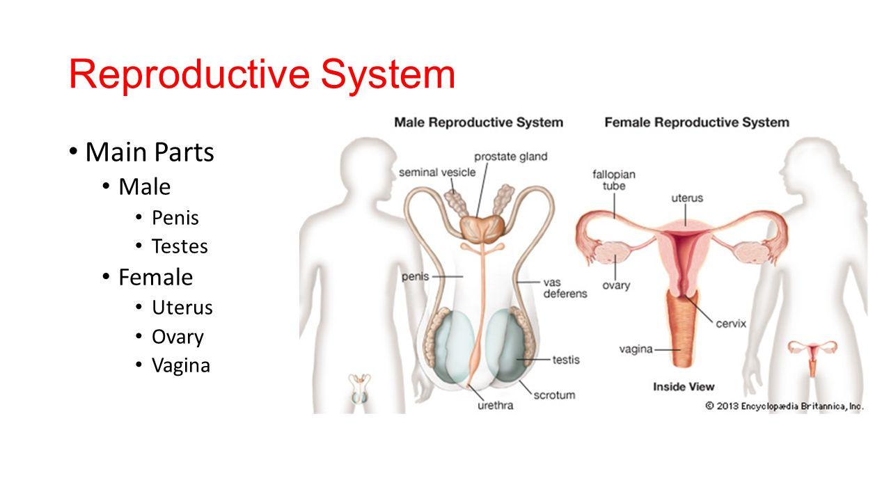 Female Human Body Ovaries Crazywidowfo