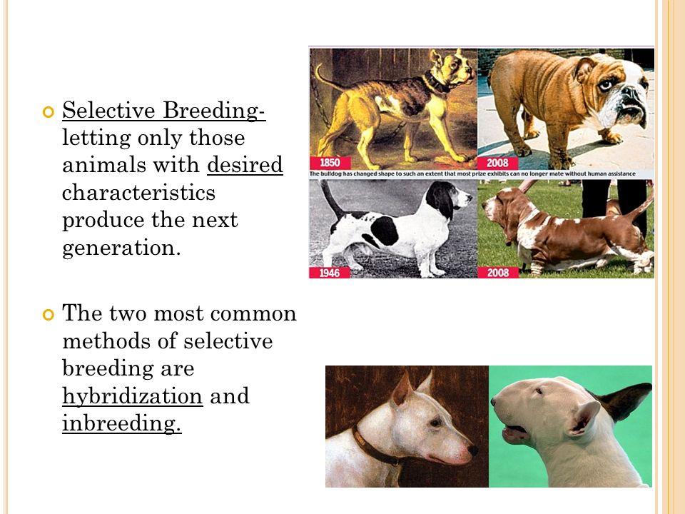 selective breeding essay Selective breeding has allowed us to how has selective breeding helped global foot distrubution how has selective breeding helped global foot distrubution essay.