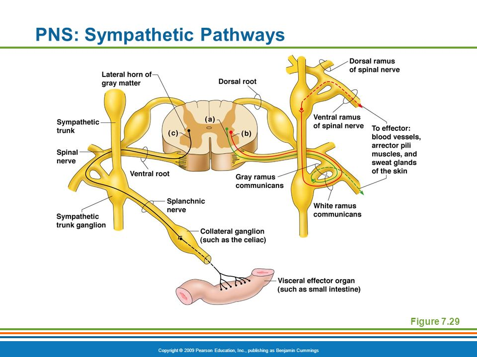 The Nervous System. - ppt video online download