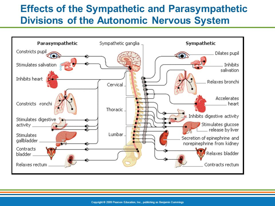 parasympathetic and sympathetic division of the autonomic nervous system Parasympathetic nervous system the parasympathetic nervous system is an anatomically defined division of the autonomic nervous system, being that part whose motor components run in cranial nerves iii, vii, ix, and x and in the sacral nerves.