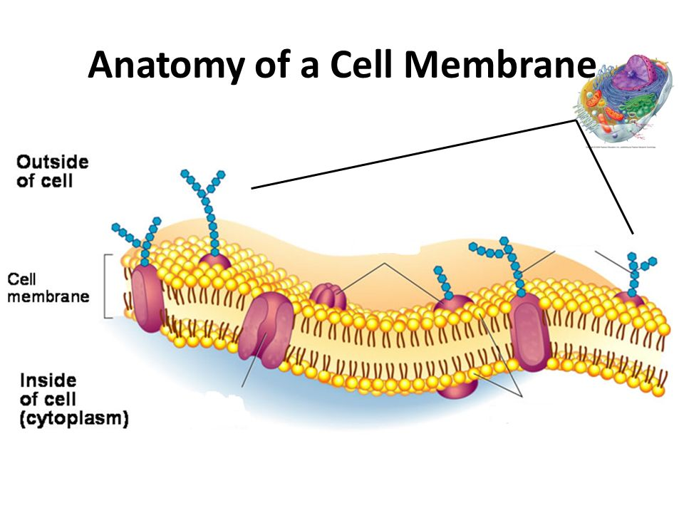 What biomolecules are found in the cell membrane? | Socratic