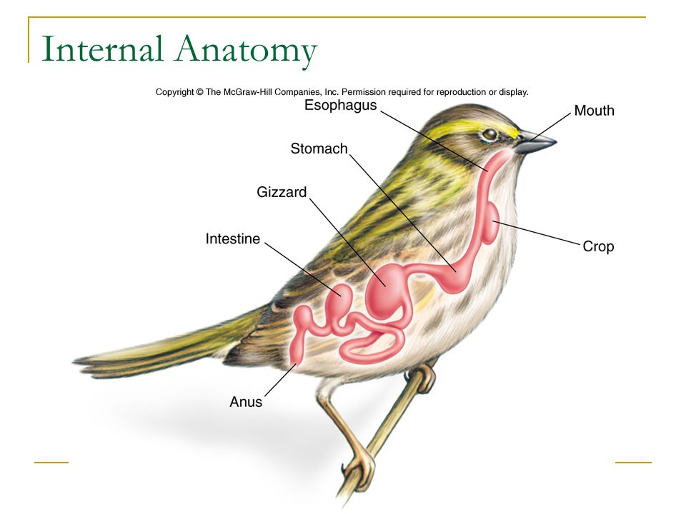 Perfect Internal Anatomy Of Birds Image Collection Human Anatomy