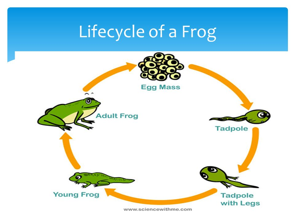 Life cycle of a frog tadpole