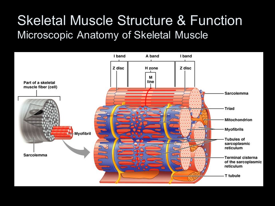 Microscopic Anatomy Of Skeletal Muscle Answers Gallery Human Body