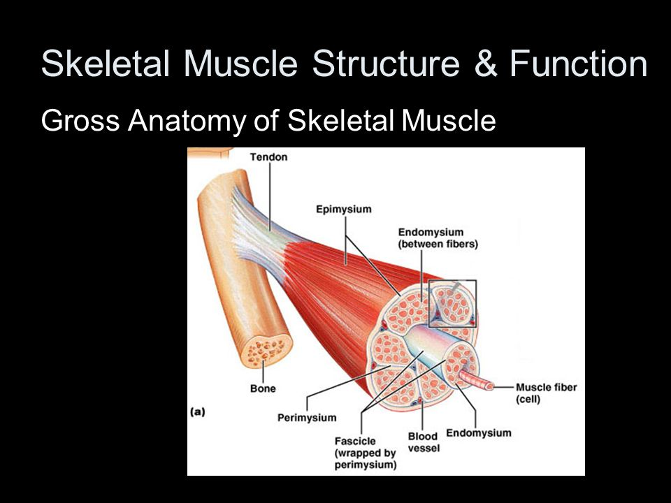 Gross anatomy of a skeletal muscle