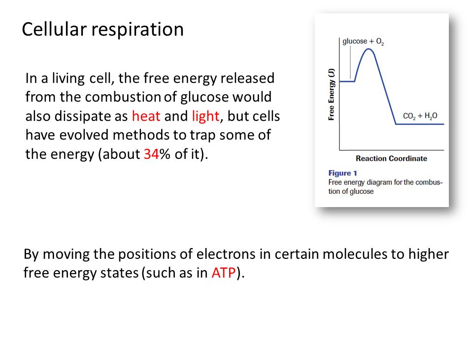 Clothespins and muscle fatigue ppt video online download cellular respiration ccuart Gallery