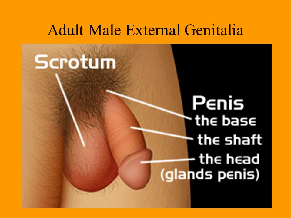 Adult male penis pic