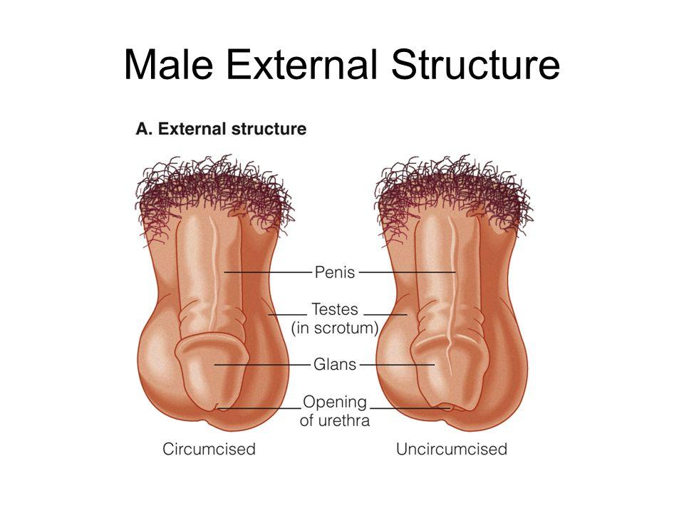 External Sex Organ 76
