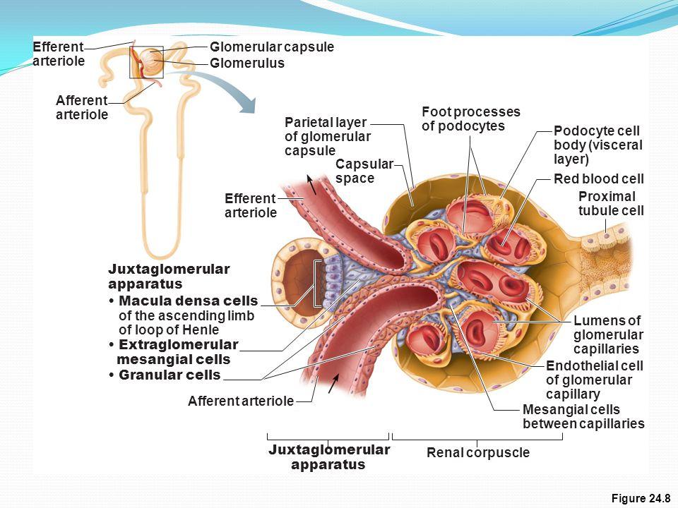 insufficient adrenal corticosteroid hormone