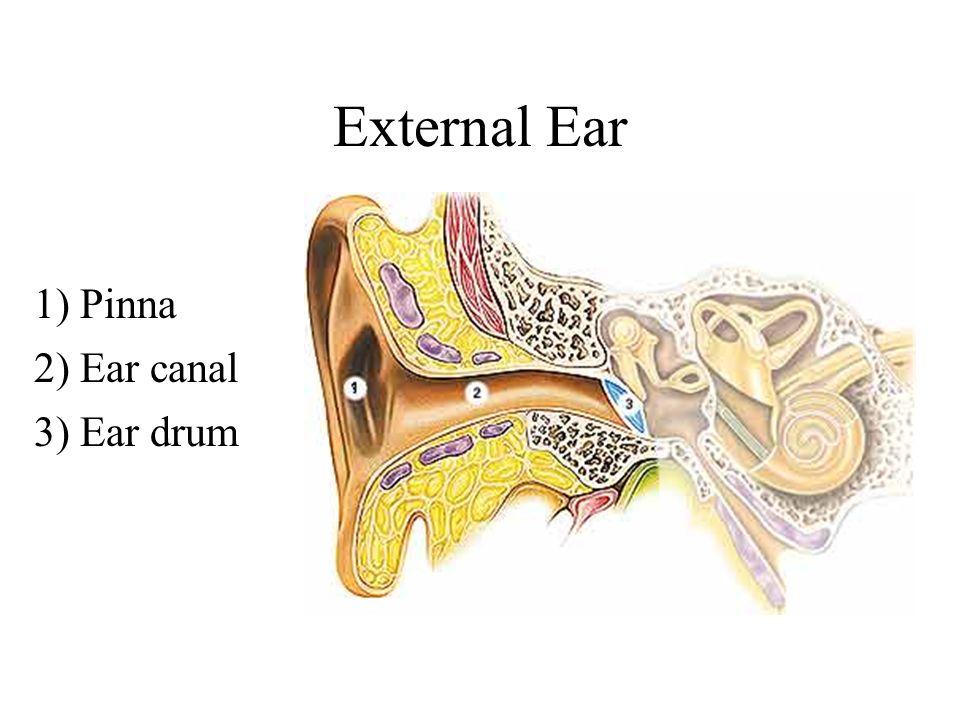 Pinna anatomy of external ear