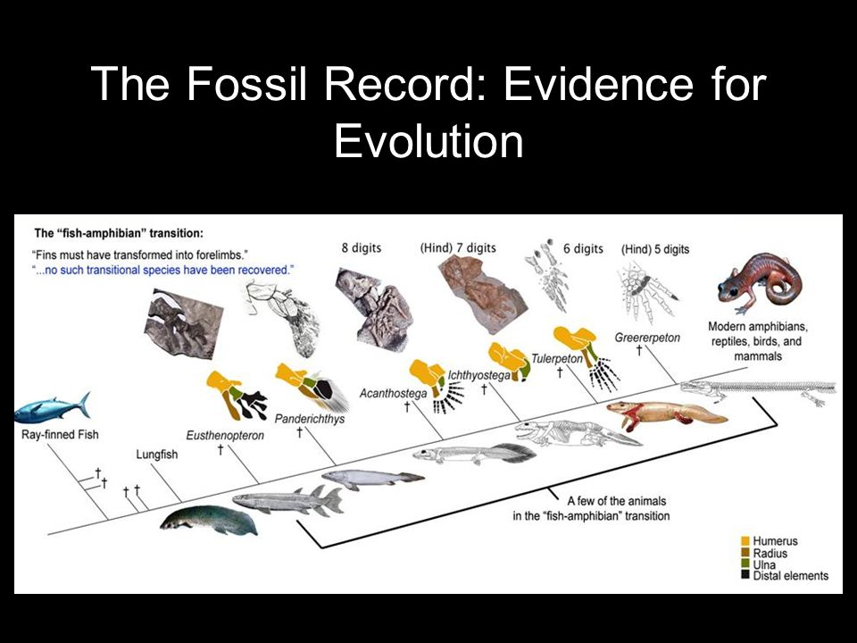 fossil records as evidence for evolution
