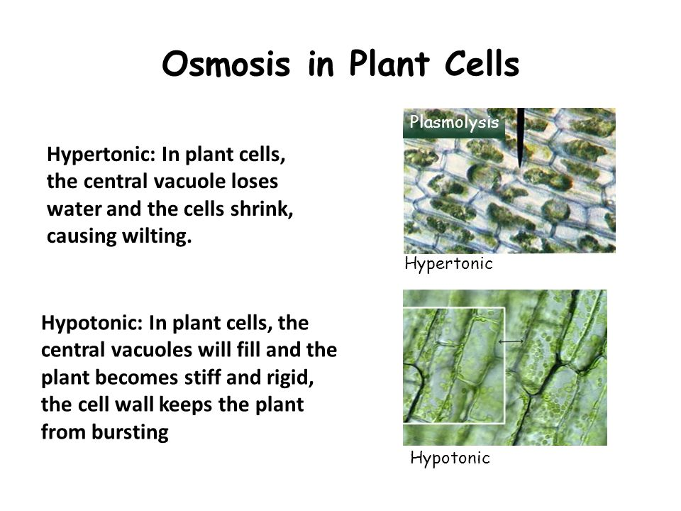 osmosis cell wall and water Inroduction a living plant cell will shrinks or swells depending on the solute concentration of the cell in relation to the solute concentration of the fluid surrounding the cell (1) it follows that water will move from a region of high water concentration to a region of low water concentration therefore, if a cell is [.