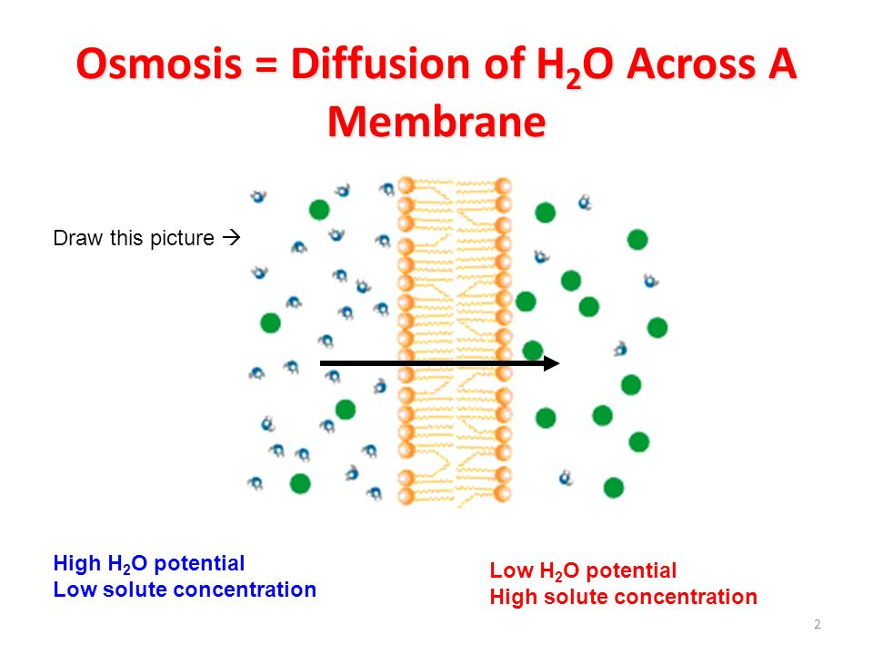 osmosis across a non living membrane Osmosis is the diffusion of water across a cell membrane it is an essential process in cell membrane functioning whether or not a cell contains a rigid cellular wall or not will determine how it reacts to hypotonic and hypertonic solutions.