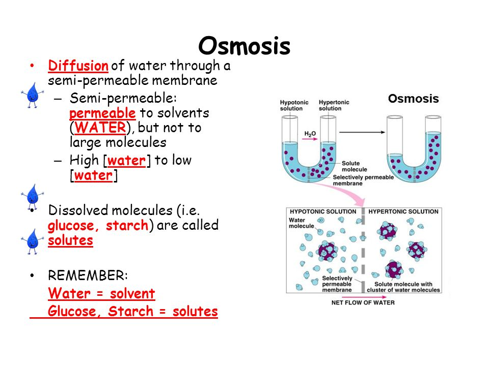 is starch permeable in cells Cell membrane permeability lab many cells are semi permeable when starch mixes with iodine what color does the mixture turn.