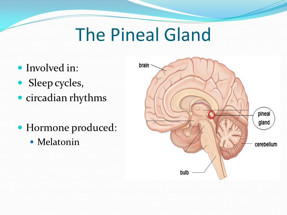Pineal Gland Function In Rhythms Giftsforsubs