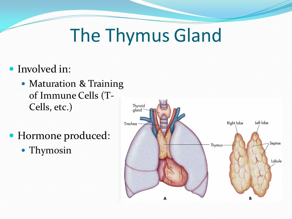 Nice Thymus Glands Image Collection - Human Anatomy Images ...