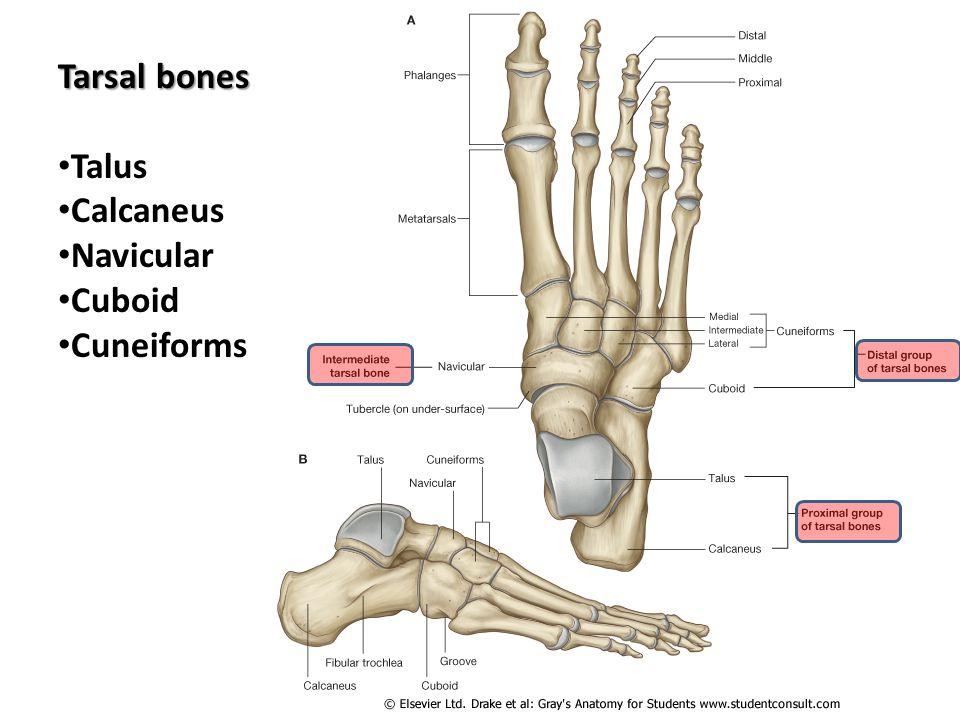 Tarsal Bones Related Keywords - Tarsal Bones Long Tail ... Tarsal
