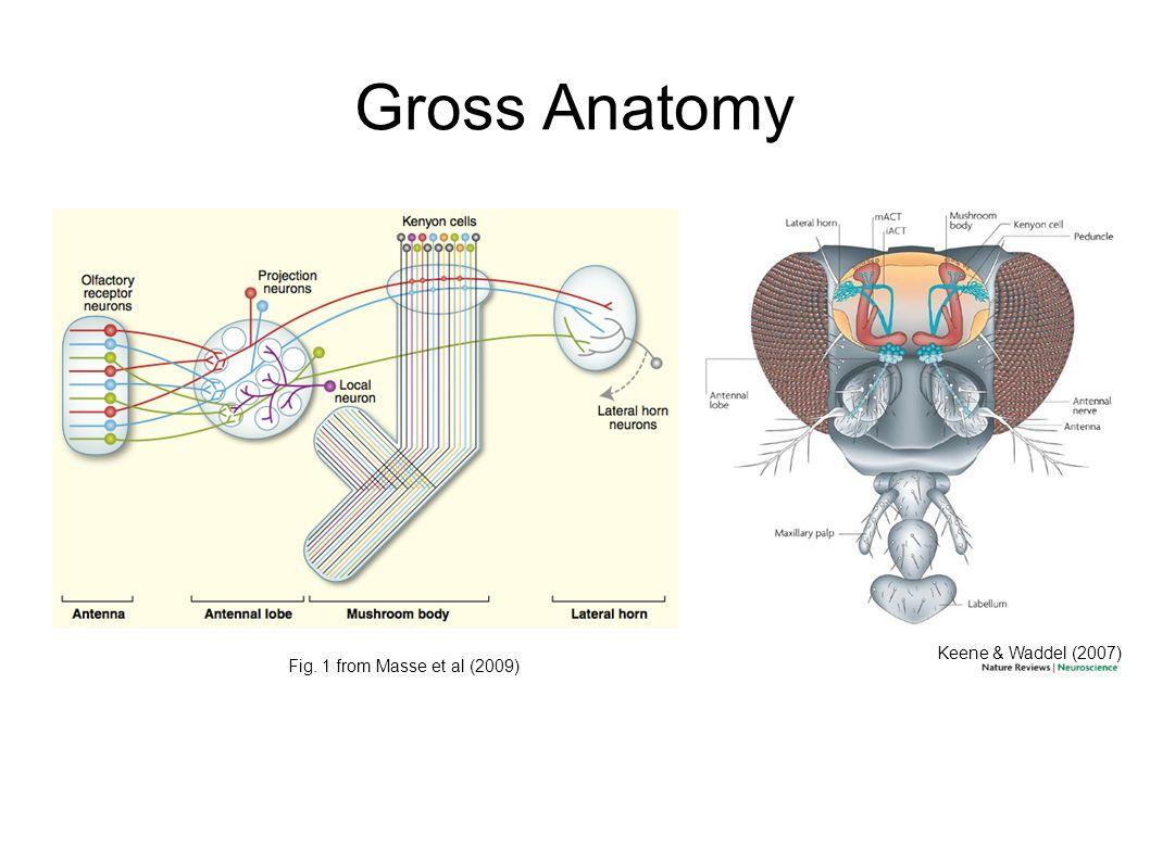 Gross Anatomy Online Choice Image - human body anatomy