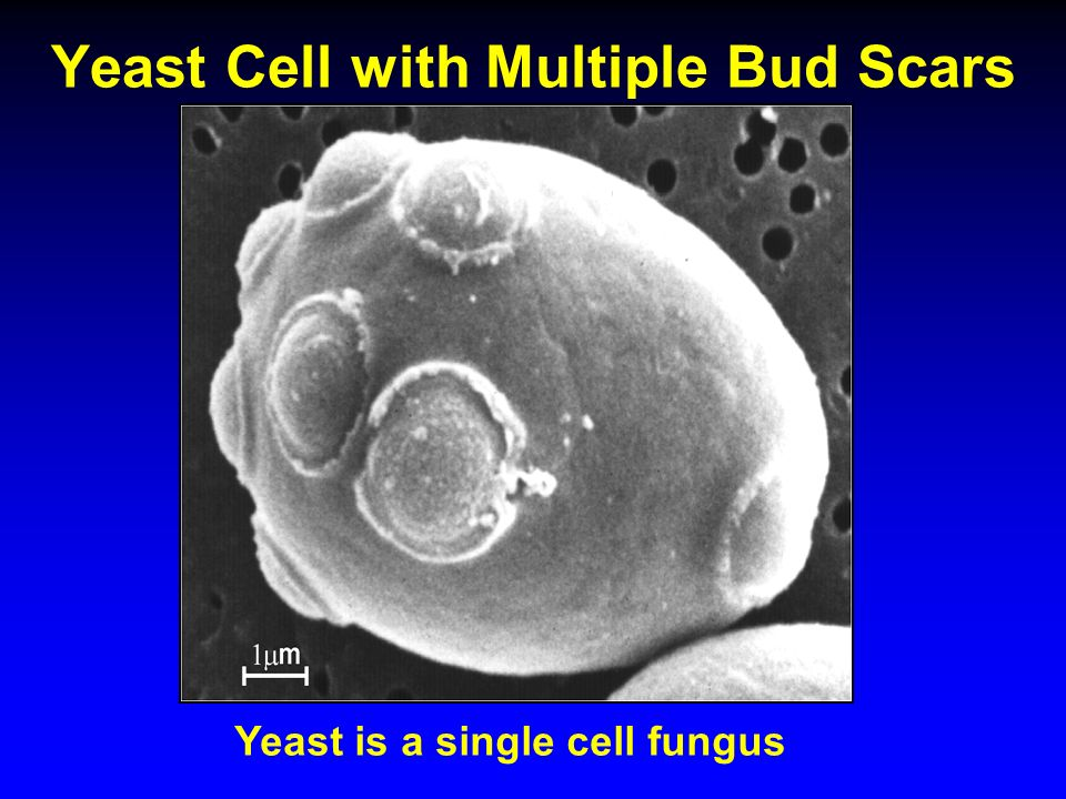 yeast cell slide - photo #33