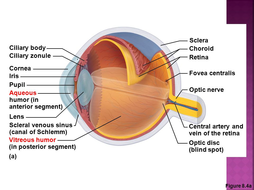 Anatomy Of The Eye Amp The 12 Cranial Nerves Ppt Download